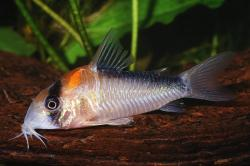 Corydoras(ln9) adolfoi - Click for species page