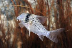 Corydoras(ln9) atropersonatus - Click for species page
