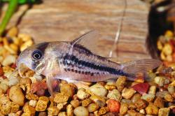 Corydoras(ln9) axelrodi - Click for species page