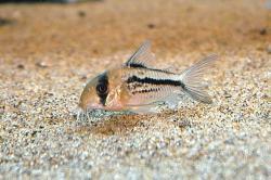 Corydoras(ln9) axelrodi