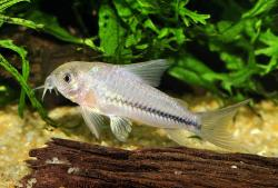 Corydoras(ln9) baderi - Click for species page