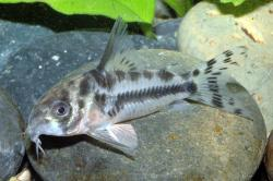 Corydoras(ln9) boesemani - Click for species page