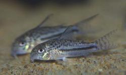Corydoras(ln9) bondi