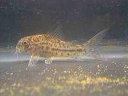 Corydoras(ln9) breei - Click for species page