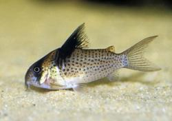 Corydoras(ln9) brevirostris - Click for species page