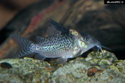 Corydoras(ln9) brevirostris