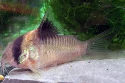 Corydoras(ln9) burgessi