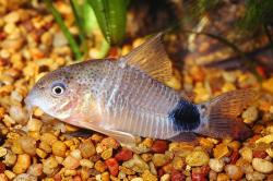 Corydoras(ln9) caudimaculatus - Click for species page