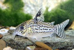 Corydoras(ln9) copei - Click for species page