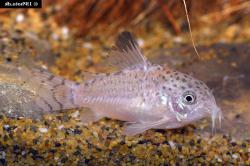 Corydoras(ln9) cruziensis - Click for species page