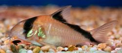 Corydoras(ln9) davidsandsi - Click for species page