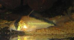 Corydoras(ln9) davidsandsi