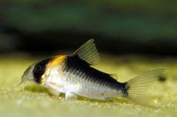 Corydoras(ln9) duplicareus - Click for species page
