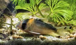 Corydoras(ln9) duplicareus