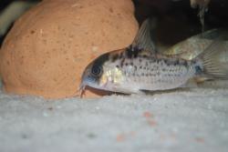 Corydoras(ln9) evelynae