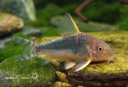 Corydoras(ln9) gossei - Click for species page