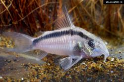 Corydoras(ln9) granti - Click for species page