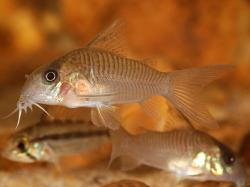 Corydoras(ln9) guianensis - Click for species page