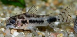 Corydoras(ln9) habrosus - Click for species page