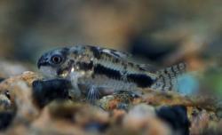 Corydoras(ln9) habrosus