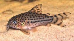 Corydoras(ln9) knaacki - Click for species data page