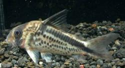 Corydoras(ln9) loxozonus - Click for species data page