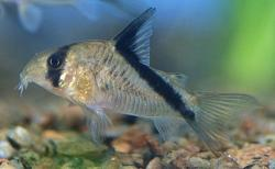Corydoras(ln9) melini - Click for species page