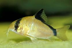Corydoras(ln9) metae - Click for species page