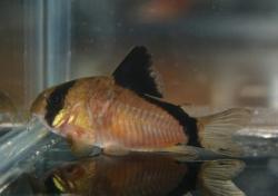 Corydoras(ln9) metae