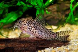 Corydoras(ln9) multimaculatus - Click for species data page