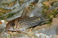 Corydoras(ln9) osteocarus - Click for species data page