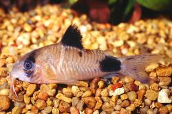 Corydoras(ln9) panda - Click for species page