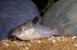 Corydoras(ln9) paragua - Click for species data page