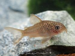 Corydoras(ln9) polystictus - Click for species page
