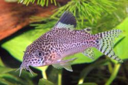 Corydoras(ln9) punctatus - Click for species page