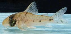 Corydoras(ln9) rikbaktsa - Click for species data page