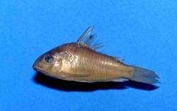 Corydoras(ln9) sanchesi - Click for species page