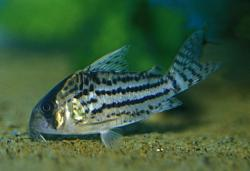 Corydoras(ln9) schwartzi - Click for species page