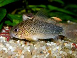 Corydoras(ln9) similis - Click for species page