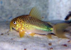 Corydoras(ln9) similis