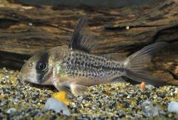 Corydoras(ln9) sp. (C003) - Click for species page
