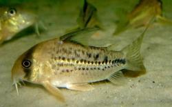Corydoras(ln9) sp. (C003)