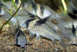 Corydoras(ln9) sp. (C030) - Click for species data page