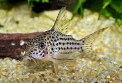 Corydoras(ln9) sp. (C045) - Click for species page