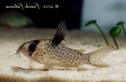 Corydoras(ln9) sp. (C054) - Click for species data page