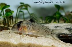 Corydoras(ln9) sp. (C054)