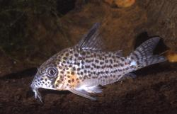 Corydoras(ln9) sp. (C062) - Click for species data page