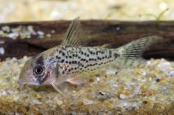 Corydoras(ln9) sp. (C079) - Click for species data page