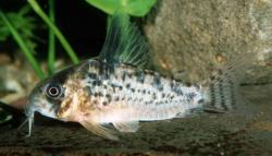 Corydoras(ln9) sp. (C082) - Click for species data page