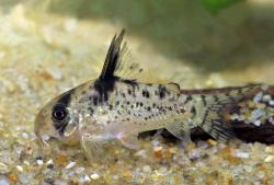 Corydoras(ln9) sp. (C090) - Click for species data page